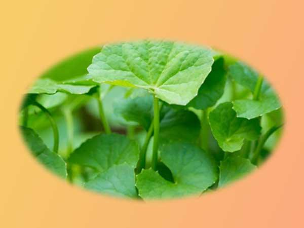 Chiết xuất rau má - Thành phần có trong Anzela C